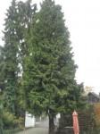 Riesen-Lebensbaum (Thuja plicata)